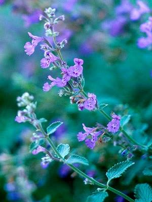 Healing Naturally Catmint